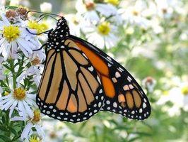 Native Florida sommerfugl planter
