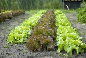 Hvordan man dyrker grøntsager i Pennsylvania