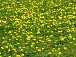 Fælles græsplæne ukrudt i Alabama