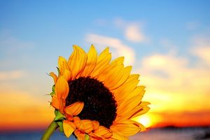 Hvad jord er bedst for solsikkekerner?