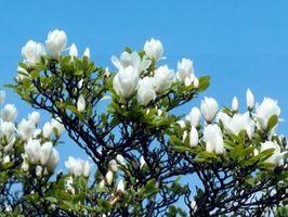 Sorte blade på en sydlige Magnolia