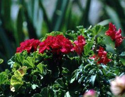 Blomster, der ikke tiltrækker Bugs
