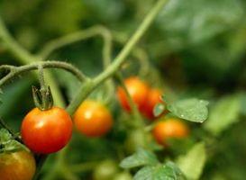 Vokser jorddækning med sorte muld bedre tomater?