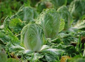 Hvordan kan man øge vegetabilske vegetabilske produktion