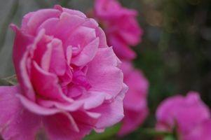 Sæbevand til behandling af Rose buske