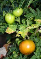 Hvad er årsagen gule blade med sorte pletter på tomatplanter?