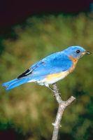 Hvordan man laver en fugl lyd med din mund
