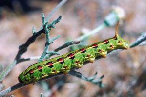 Økologisk insekticid for larver