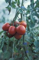 Cherrytomat vinstokke tørring & blomstrer på samme tid