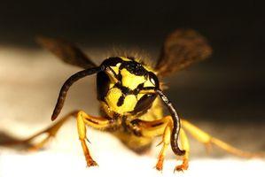 Hvor overflytter hvepse til om vinteren?