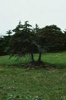 Hvordan til at holde Geometrids fra Defoliating træer