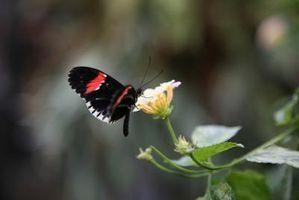 Hvordan til at designe en sommerfugl haven i Florida