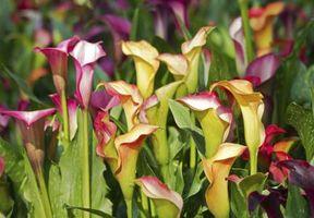 Sådan Care for potteplanter Calla liljer