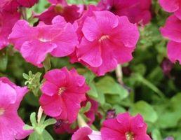 Sådan vand & Feed potteplanter Petunias
