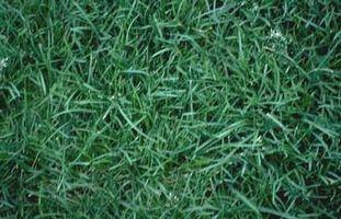 Hvordan at vokse nye græs hurtigt