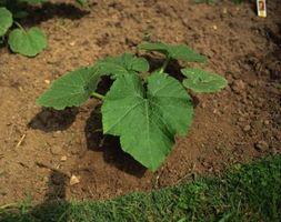Hvordan man kan rette jord med lavt Calcium