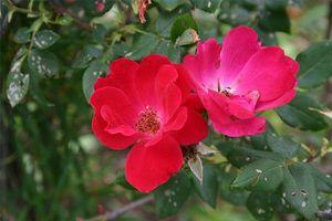 Hvornår man skal plante Knock Out roser i Georgien