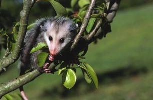 Hvordan at slippe af Oppossums