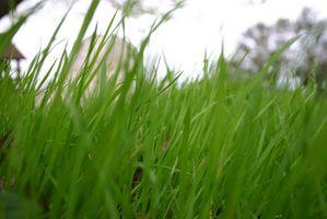 Majsgluten på græsplæner