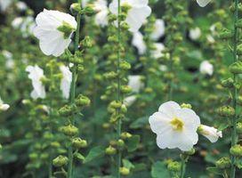 Hvad er det officielle navn for en Rose af Sharon busk?