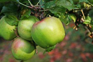 Hvordan man dyrker dværg æbletræer