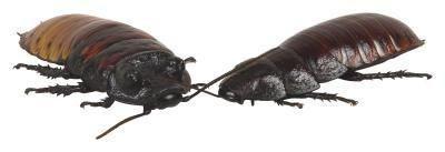 Giftige måde at dræbe kakerlakker