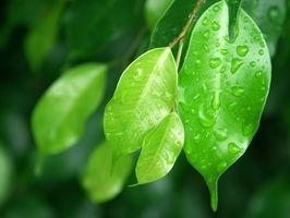 Flettet Ficus & tusindben