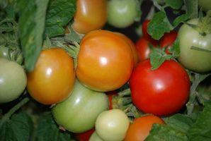 Hvordan man opbygger tomat bure fra trådnet
