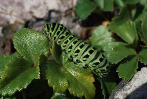 Sådan holder gigantiske larver fra at spise din have