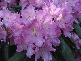 Rhododendron plantning & pleje
