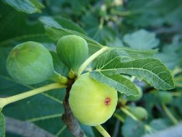 Kan du dyrker figentræer i vin Tønder?