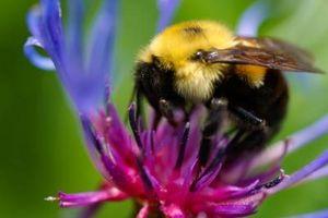 Hvordan at slippe af humlebier naturligt