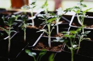 Hvordan til at plante arvestykke tomater sidelæns