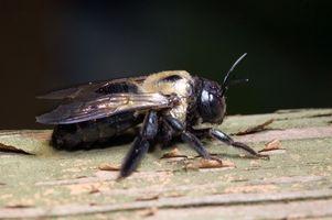 Hvordan man kan fjerne Tømrer bier