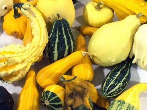Hvordan til at plante gul Squash