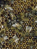 Hvordan man opbygger en Top Bar Hive fra et træ logge