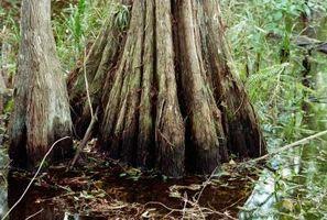 En behandling af Bald Cypress Bugs