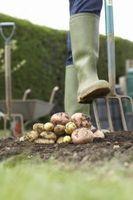 Hvornår man skal plante kartofler i Central Florida?