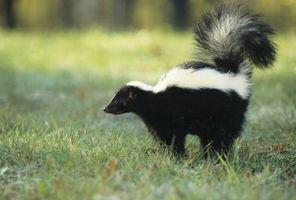 Hvordan man dræber en Skunk