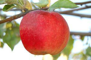 Apple Picking i Acushnet, MA