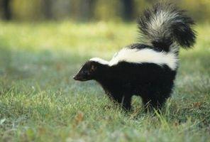 Hvordan til frigive en levende Skunk fanget i en fælde