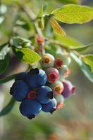 Den gennemsnitlige højde af Blueberry buske