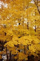 Kan du sætte eg pletten på ahorn hårdttræ gulve?