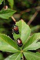 Hvordan man laver hjemmelavet økologisk Bug Spray for planter