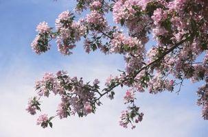 Bunker af Pink Bugs omkring et træ