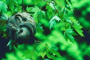Hvordan kan jeg gemme en hveps rede fra et træ?