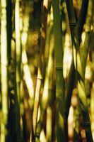 Hvordan at vokse sunde bambus planter