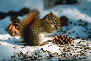 Hvordan at fodre egern i vinter