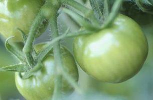 Hvordan til at plante og passe tomatplanter i varme og tørre klima