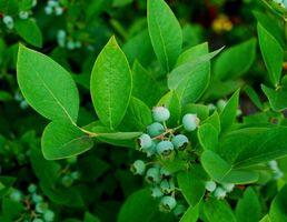 Hvordan man dyrker hertug Blueberry buske i nordøstlige Michigan